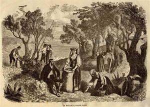 récolte des olives - gravure datée de 1864